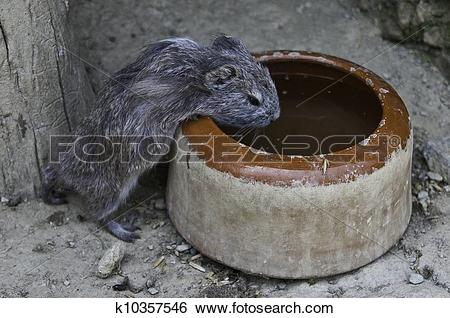 Stock Images of Cavia porcellus k10357546.