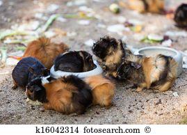 Cavia porcellus Images and Stock Photos. 653 cavia porcellus.