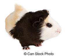 Stock Photography of Guinea pig (Cavia porcellus) csp20495117.