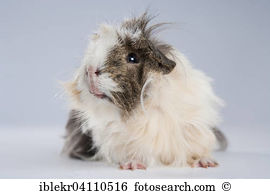 Brown white guinea pig Stock Photo Images. 1,474 brown white.