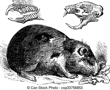 Clipart Vector of Guinea pig or Cavy or Cavia porcellus vintage.