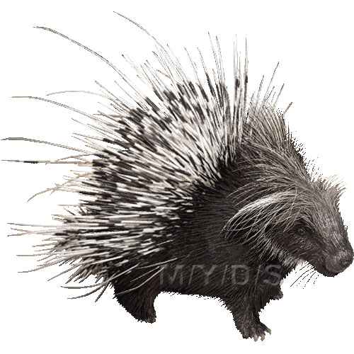 Crested Porcupine clipart graphics (Free clip art.