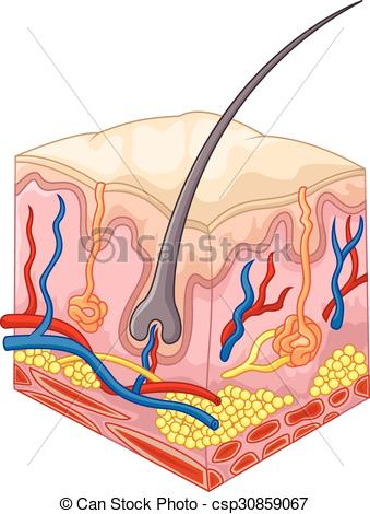 Clip Art Vector of The layers of skin and pores.