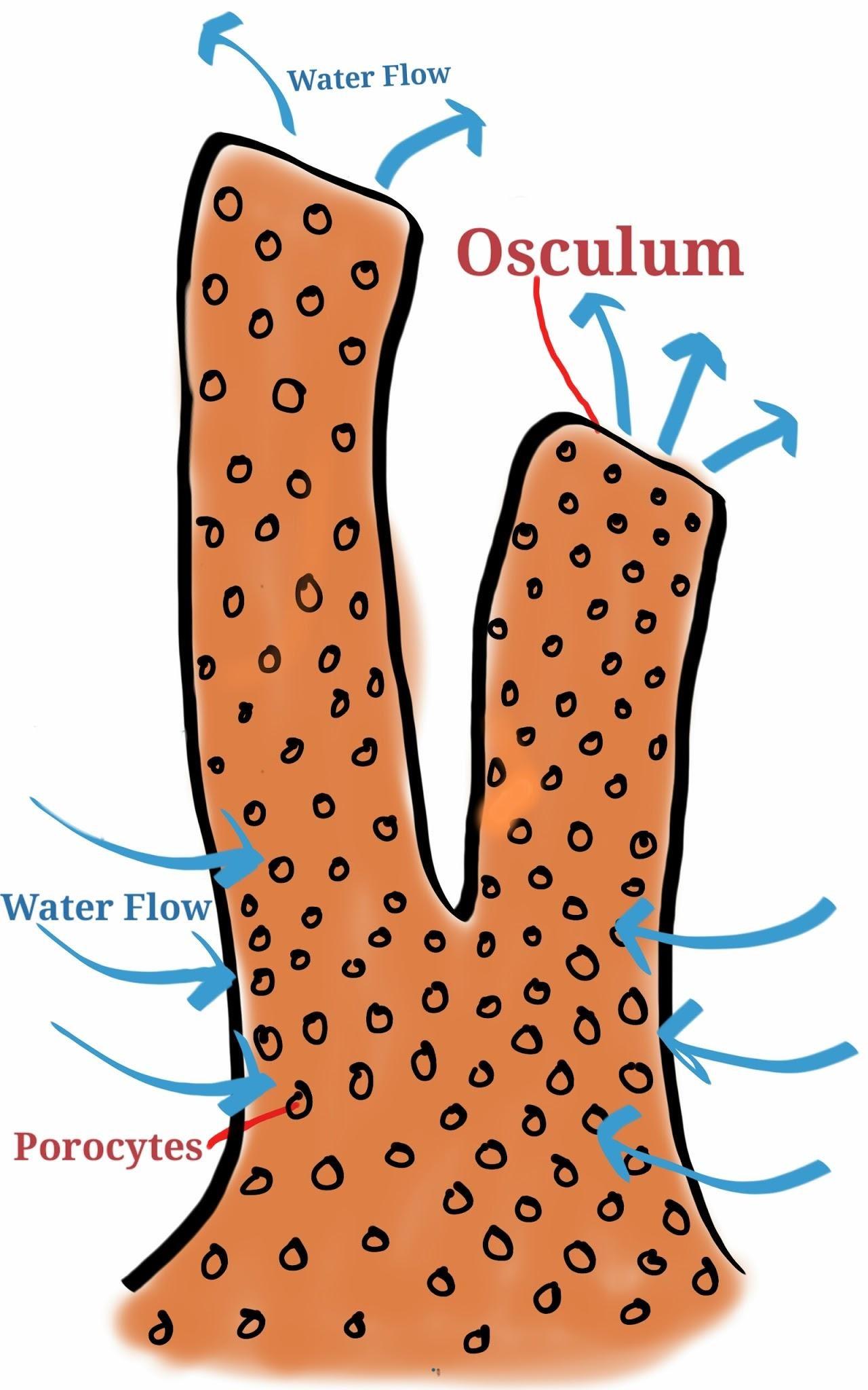Porifera clipart #2