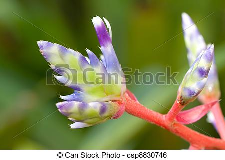 Stock Image of bromeliad flower.