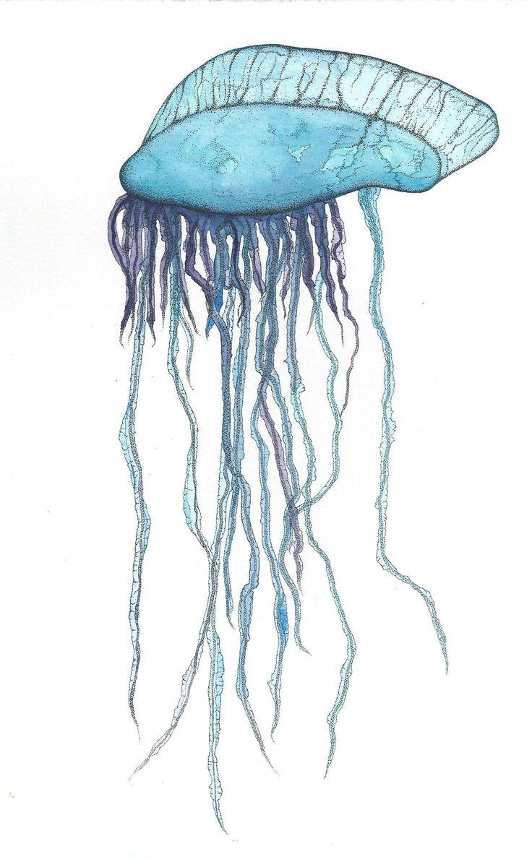Man O War Jellyfish Drawing.