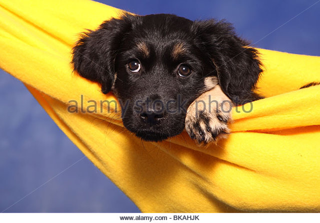 Portuguese Shepherd Stock Photos & Portuguese Shepherd Stock.