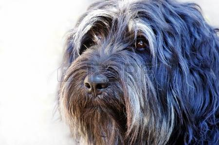 Sheepdog Stock Photos Images. Royalty Free Sheepdog Images And.