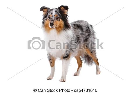 Stock Photography of Shetland Sheepdog or sheltie isolated on a.