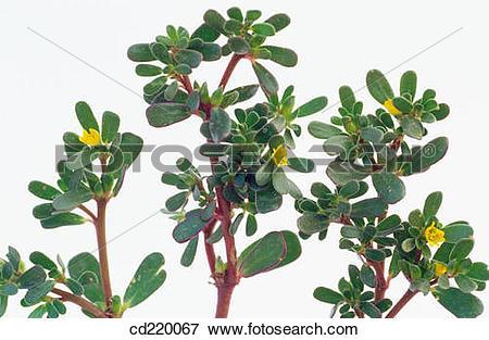 Picture of Common Purslane (Portulaca oleracea) cd220067.