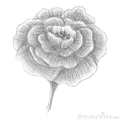 Portulaca Rose Flower Portulaca Grandiflora Stock Illustrations.