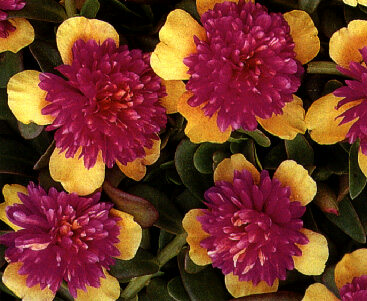 Australian Portulaca: The History of Portulaca umbraticola in.