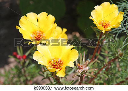 Picture of Moss rose (Portulaca grandiflora) k3900337.