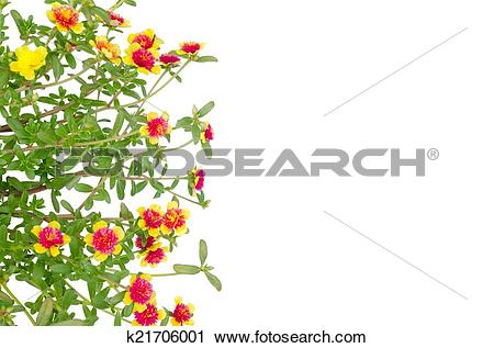 Clipart of Portulaca flower k21706001.