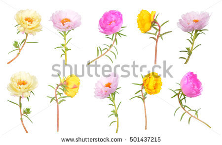 Portulaca Stock Images, Royalty.