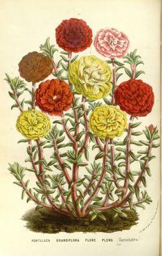 Rafflesia Arnoldii.