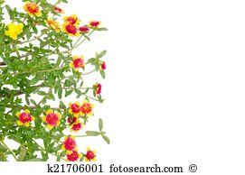 Portulaca Illustrations and Stock Art. 7 portulaca illustration.