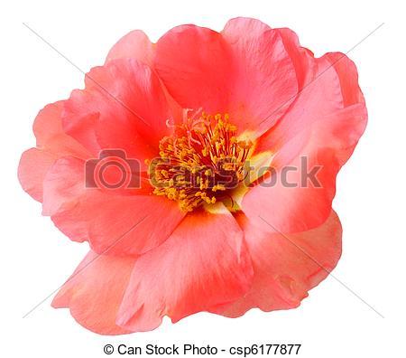 Picture of Portulaca Grandiflora.