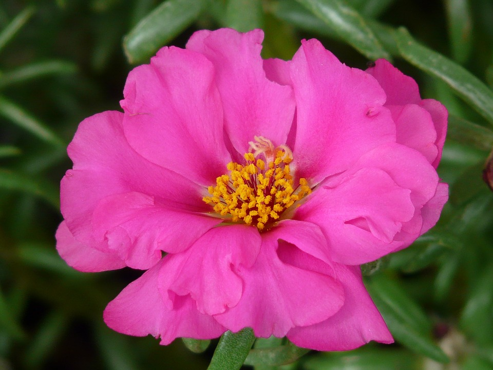 Free photo: Portulaca Grandiflora.