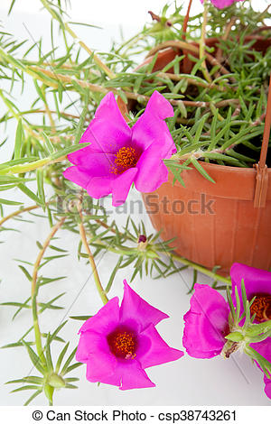 Stock Image of Moss Rose Portulaca grandiflora in pots to hang on.