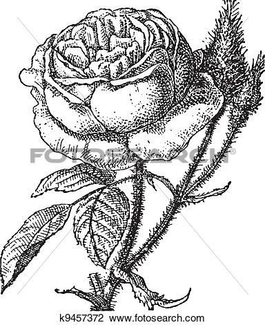 Clipart of Moss Rose or Portulaca grandiflora, vintage engraving.