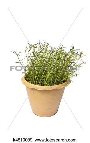 Stock Photograph of Portulaca grandiflora k4810089.