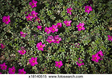 Stock Image of Portulaca, Portulacaceae flowers in a garden.