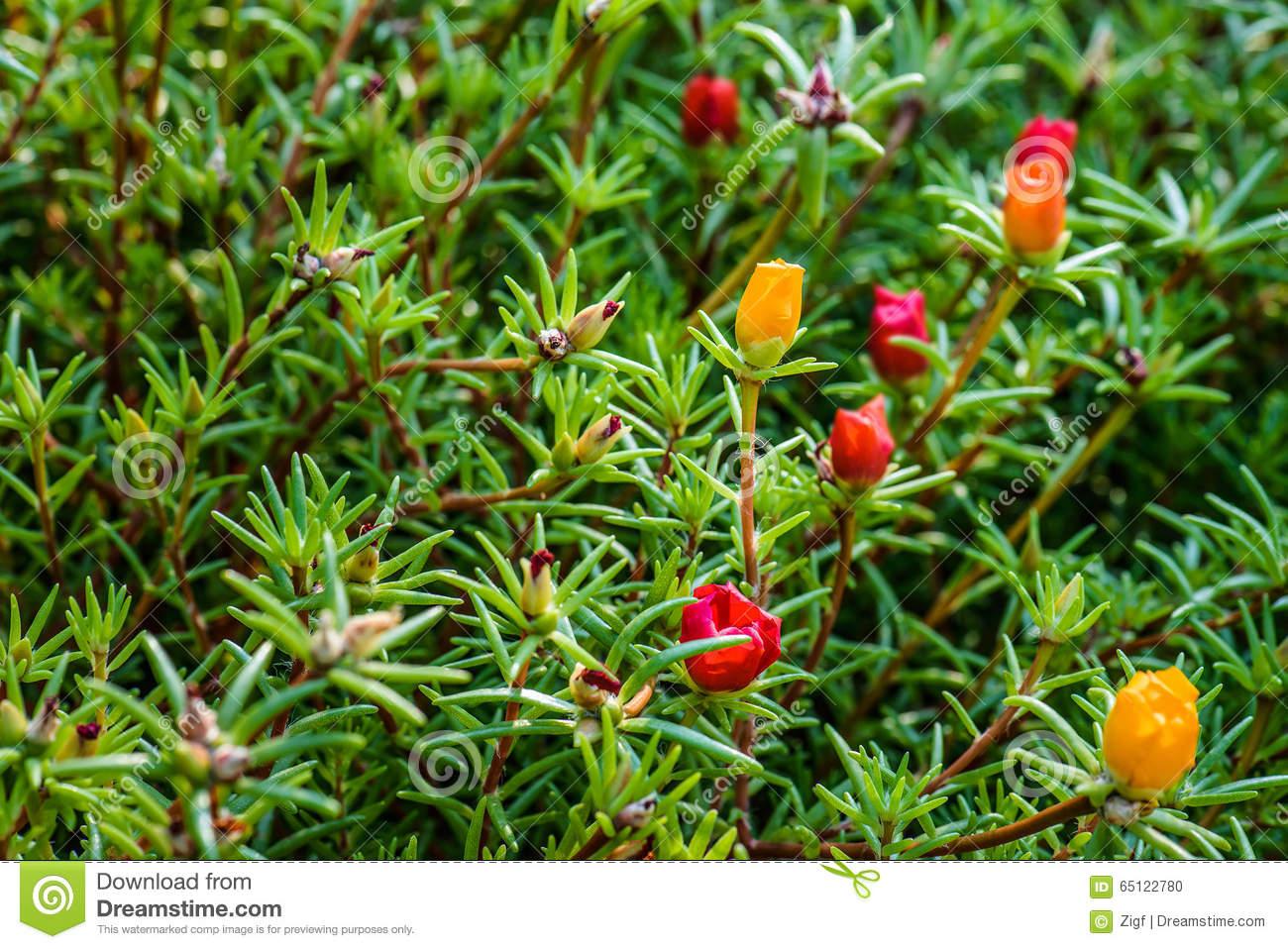 Portulaca Grandiflora Is Plant In Portulacaceae Stock Photo.