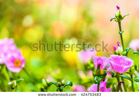 Portulaca garden Stock Photos, Images, & Pictures.