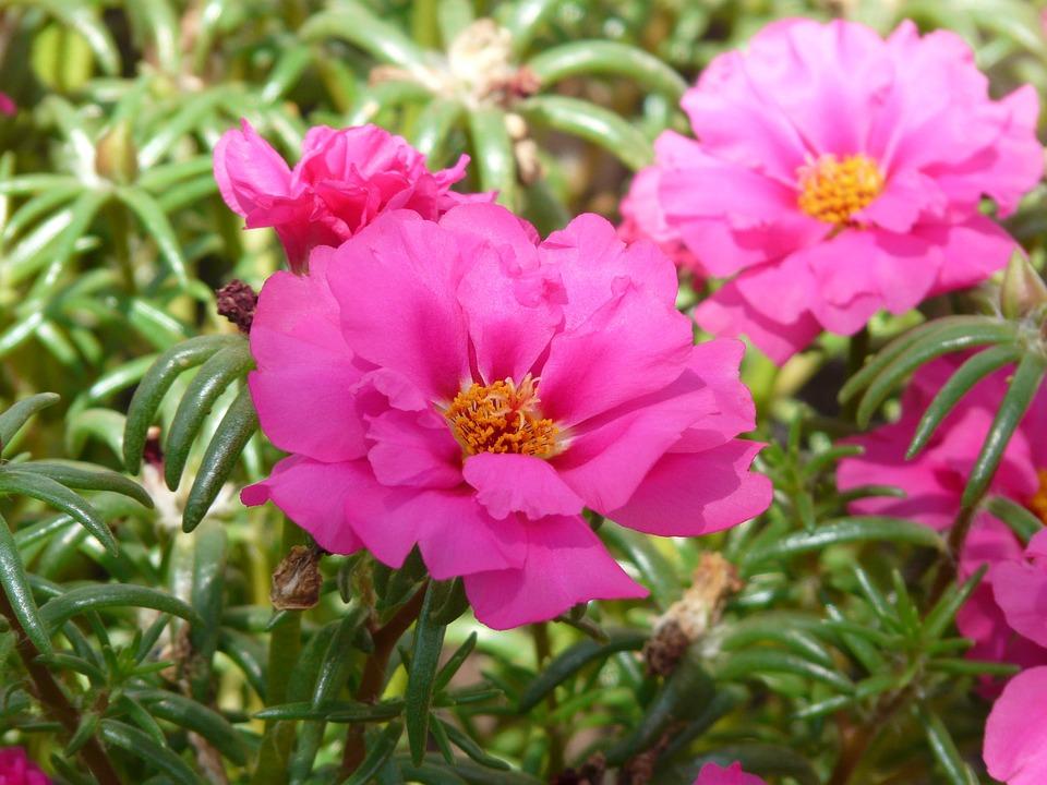Free photo Portulaca Grandiflora Portulacaceae Portulakgewaechs.