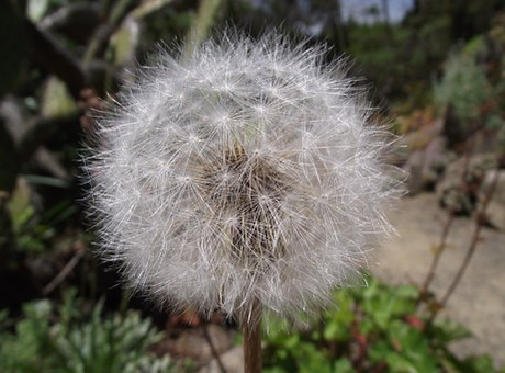 Free photo Agoseris Grandiflora California Dandelion.