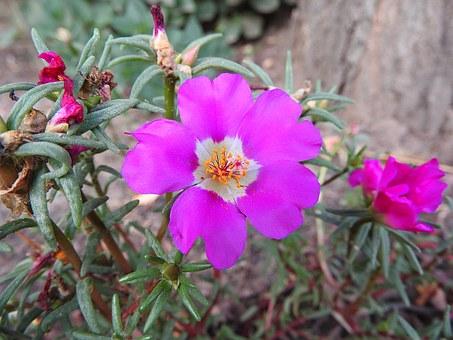 Grandiflora.