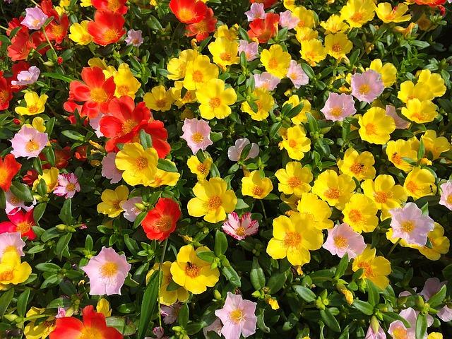 Free photo: Portulaca, Keen, Flowers, Orange.