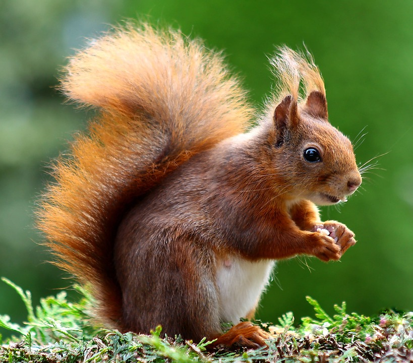 Free photo Possierlich Squirrel Animals Nager.