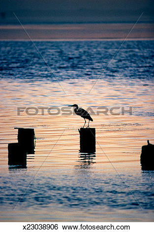 Stock Images of Silhouette of an egret perching on a wooden post.