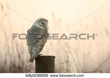 "Stock Photo of ""Barn Owl (Tyto alba), adult, sleeping on post at."