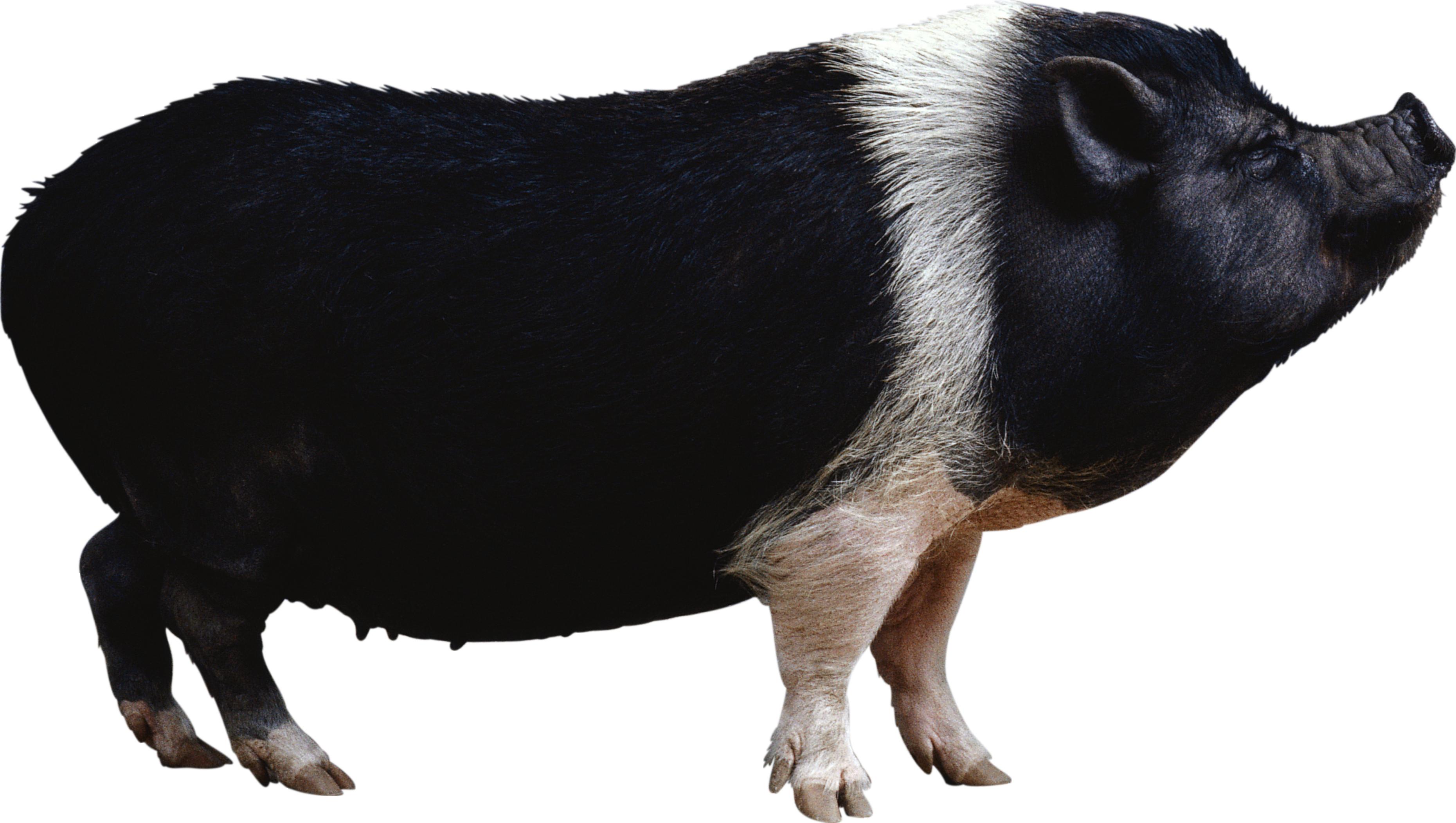 Black Pig Clipart.