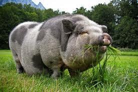 Pot Bellied Pigs.