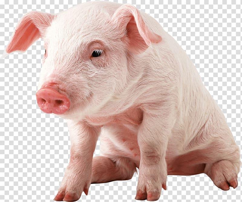 Miniature pig Vietnamese Pot.