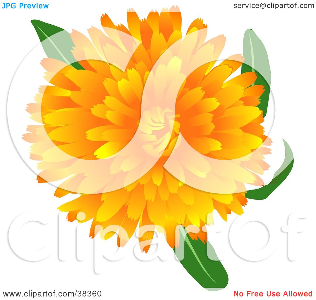 Clipart Illustration of a Blooming Pot Marigold Or Scotch Marigold.