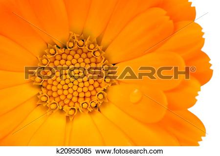 Stock Image of Calendula (Pot Marigold) Flower Close.