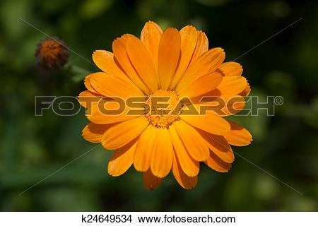 Stock Photo of Pot marigold k24649534.