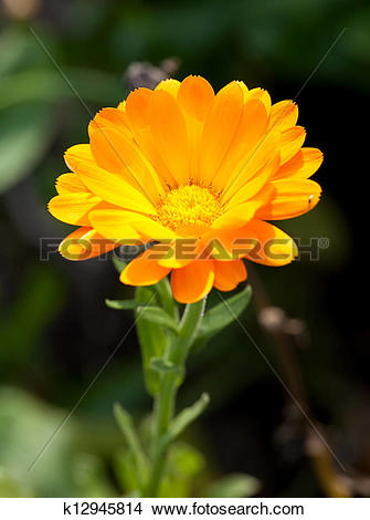 Stock Photo of Pot marigold k12945814.