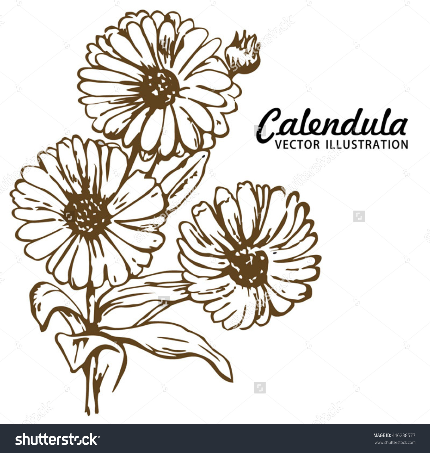 Vector Hand Drawn Calendula Plant Illustration Stock Vector.