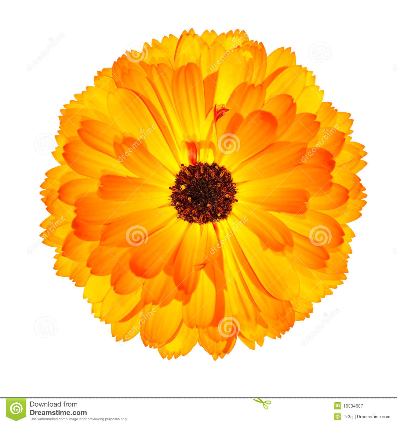 Yellow Calendula Officinalis (Pot Marigold) Flower Isolated On.