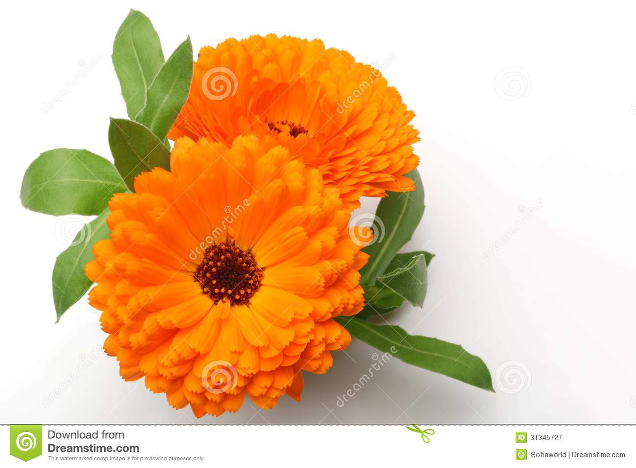 Orange Pot Marigold Flower Royalty Free Stock Photography.