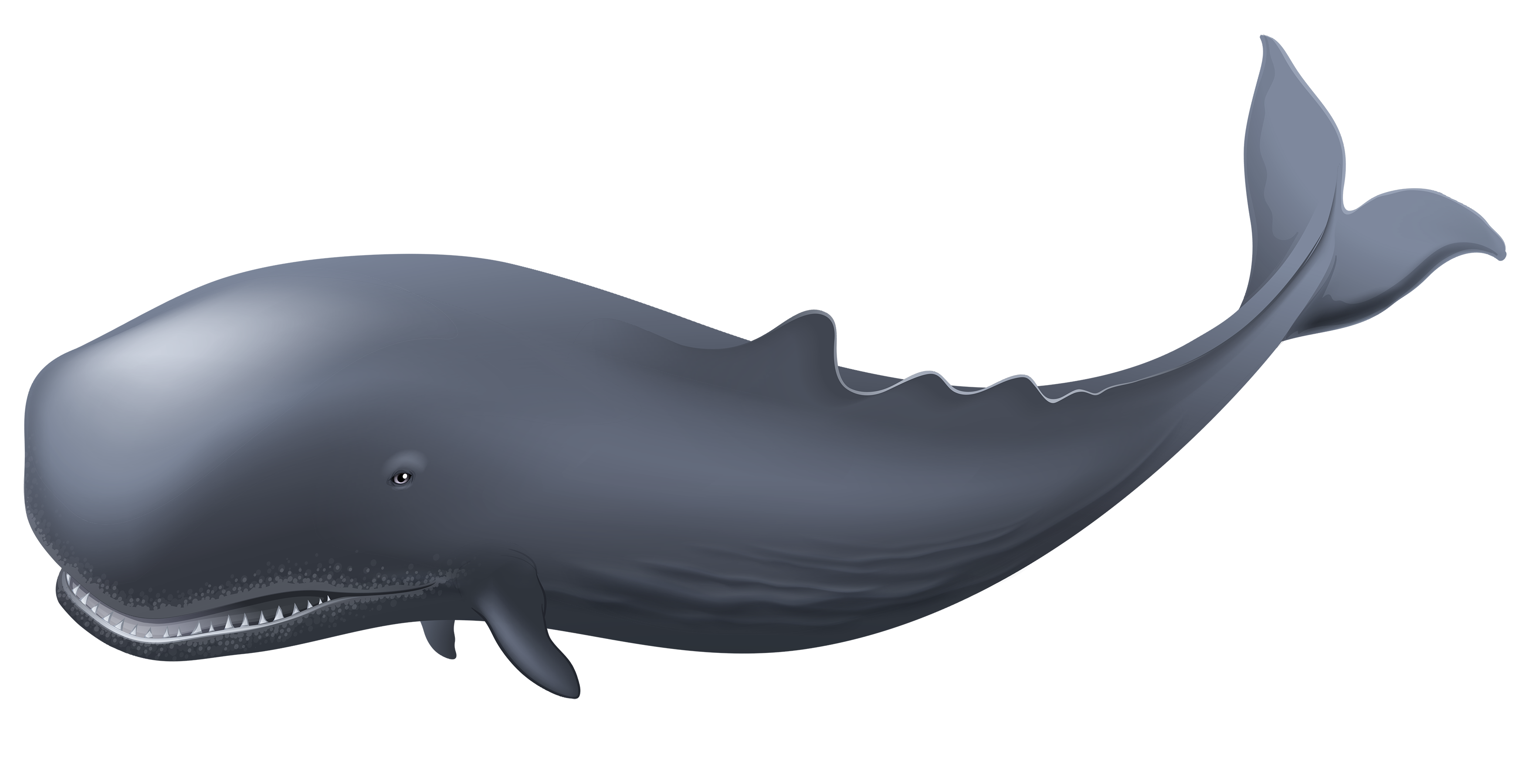 Whale PNG Clipart.