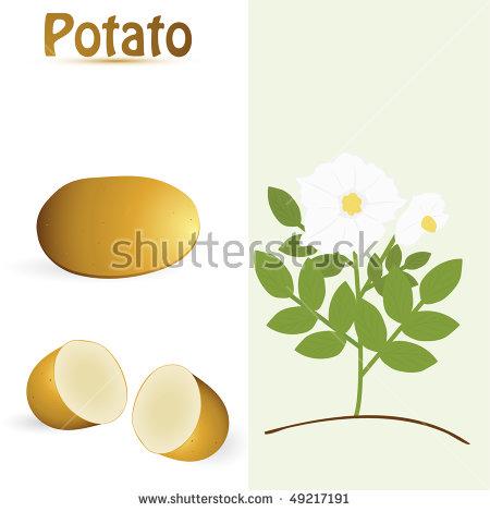 Potato Flower Stock Photos, Royalty.