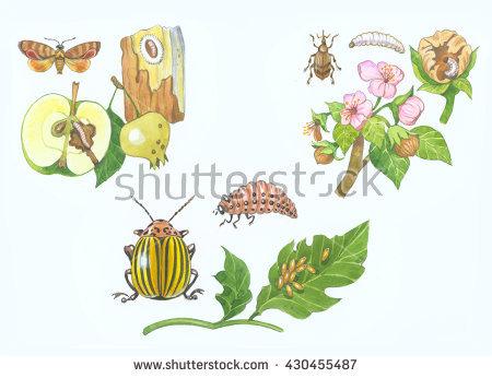 Potato Bug Stock Photos, Royalty.