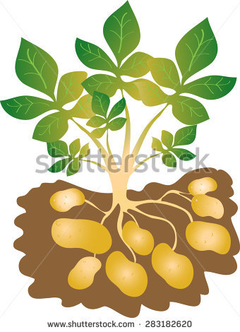 Potato Plant Stock Photos, Royalty.